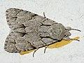Acronicta ?psi - Grey dagger - Стрельчатка пси (40345188214).jpg