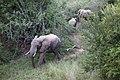 Addo Elephant Park, Eastern Cape (6252666811).jpg