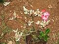 Adenium obesum variegata-3-shevaroy nursery-yercaud-salem-India.JPG