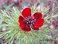Adonis aestivalis inflorescence (10).jpg