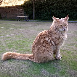 Adult-male-maine-coon-cream-with-white.jpg