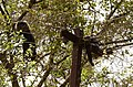 Adult lion-tailed macaque looking at the electrocuted infant in Valparai DSC 2525.jpg