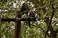 Adult lion-tailed macaque looking at the electrocuted infant in Valparai DSC 2527.jpg