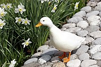 Adult white call duck drake.jpg