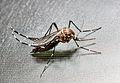 Aedes albopictus (Mosquito tigre).jpg