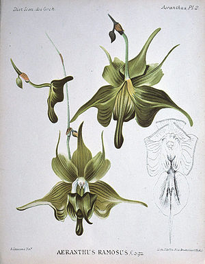 Aeranthes henricii
