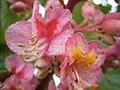 Aesculus carnea bloemen.jpg