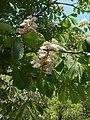Aesculus hippocastanum flower 3.jpg