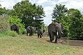 African Elephants (Loxodonta africana) (17143628388).jpg