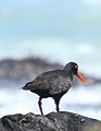 African Oystercatcher or African Black Oystercatcher, Haematopus moquini (13171232573).jpg