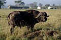 African buffalo next to a village in Kenya.jpg