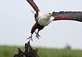 African fish eagle, Haliaeetus vocifer, at Chobe National Park, Botswana (33489377992).jpg