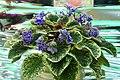 African violet (Saintpaulia).jpg