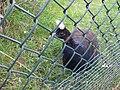 Afropavo congensis -Safaripark Beekse Bergen -male-6a.jpg