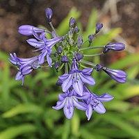 A. campanulatus 'Oxford Blue'