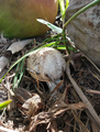 Agaricus.png