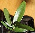 Agathis robusta seedling I, by Omar Hoftun.jpg