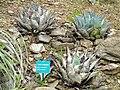Agave parrasana - Jardin d'oiseaux tropicaux - DSC04887.JPG