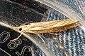Agriphila sp. (NH266-fp) (15996654345).jpg