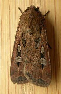 Bogong moth species of insect