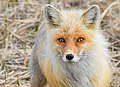 Alaska Red Fox (Vulpes vulpes).jpg