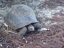 Aldabra tartaruga
