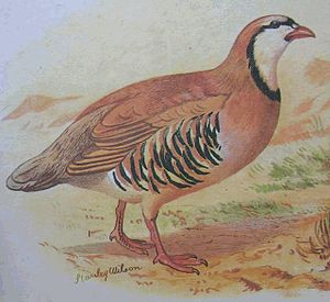 Chukar partridge - Illustration from Hume and Marshall's Game Birds of India, Burma and Ceylon