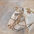 Alexander Pock Pferdeporträt Favory Montenegra.jpg