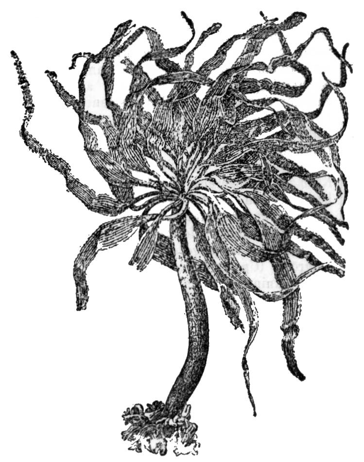 Alger, Postelsia palmæformis, Nordisk familjebok