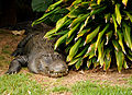 Alligator hiding behind bush (5213912188).jpg