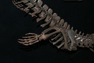 Alligatoridae - A. olseni fore limb