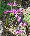 Allium crispum 1.jpg