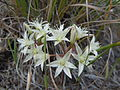 Allium nevadense (4748920305).jpg