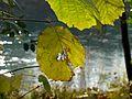 Allodon nov 2012 10 (8211792546).jpg