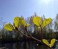 Alnus glutinosa leaves.jpg