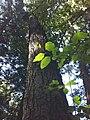 Alnus rhombifolia (White Alder) Redwood Grove 2011-06-25.jpg