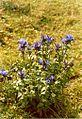 Alpen Blume.jpg