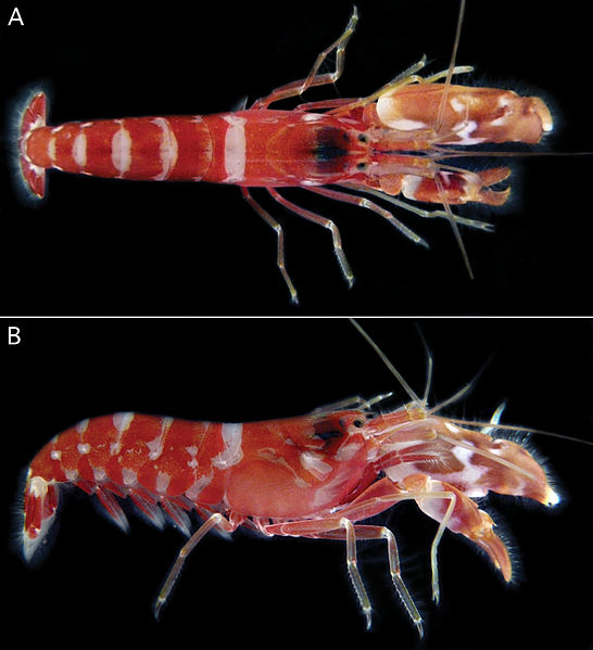 File:Alpheus cedrici holotype - ZooKeys-183-001-g003.jpg