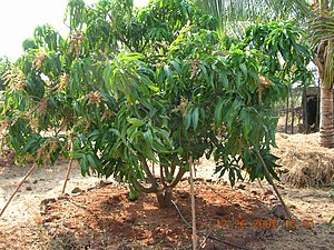 English: Alphonso mango tree in a dense cultiv...