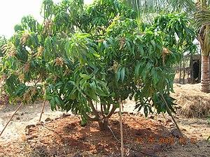 Alphonso (mango) - Plantation of Alphonso mangoes