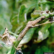 Alternaria solani - Wikipedia