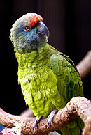 A green parrot with a blue head and a red forehead
