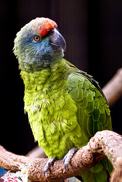 Amazona festiva bodini -Tulsa Zoo-8a.jpg