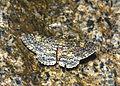 Amblychia sp (24074482924).jpg