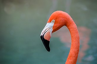 American flamingo - Close-up of head at Nashville Zoo, Nashville, Tennessee