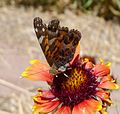 American Painted Lady - Vanessa virginensis. - Flickr - gailhampshire.jpg