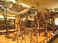Amherst College Museum of Natural History - IMG 6448.JPG