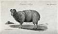 An Exmoor sheep. Stipple engraving by Neele. Wellcome V0021702.jpg