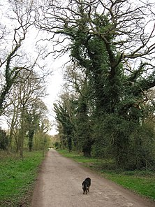 An Ivy-covered Oak Tree beside Common Road, Bookham Common - geograph.org.uk - 1236923.jpg