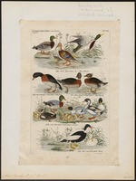 Anas boschas - 1845-1863 - Print - Iconographia Zoologica - Special Collections University of Amsterdam - UBA01 IZ17600371.tif